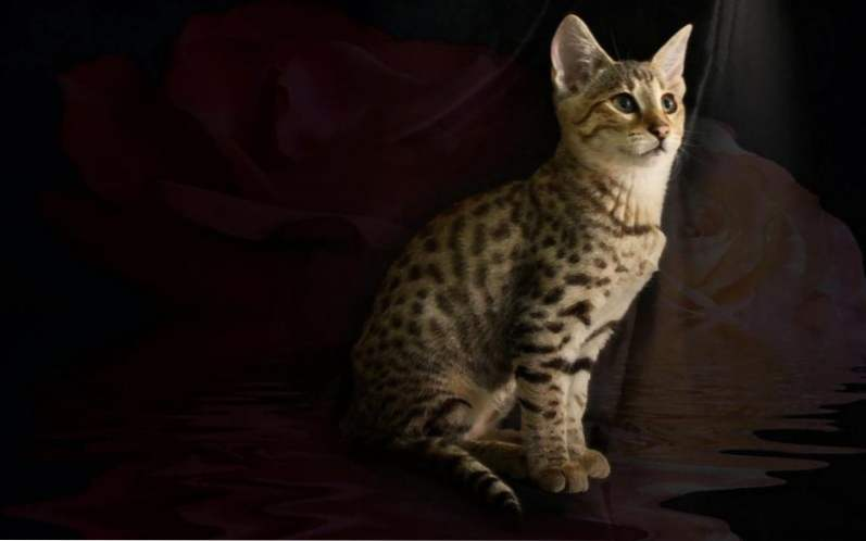 Africká mačička vids