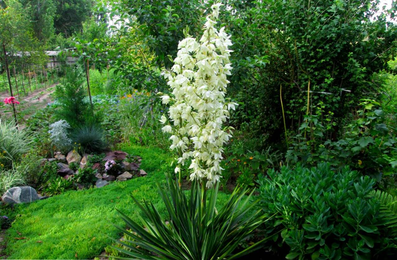 Garden Yucca (filamentoza) opis, fit in nego
