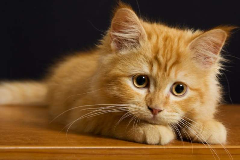 Velika đumbir maca